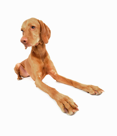 pooches: Studio portrait of alert vizsla dog LANG_EVOIMAGES