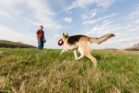 well behaved: Man training alsatian dog with frisbees