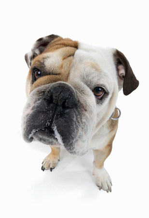 silliness: Studio portrait of english bulldog looking at viewer