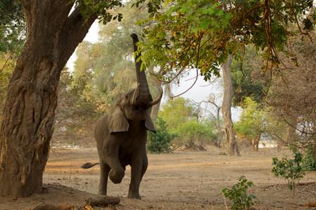 exerting: Elephant feeding,Mana Pools National Park,Zimbabwe,Africa