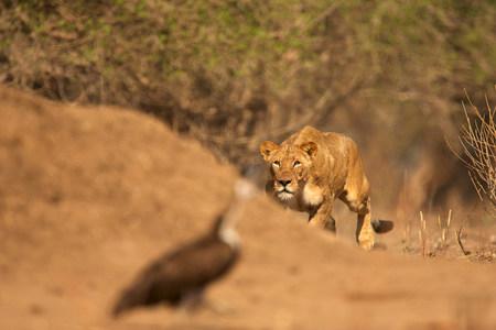 Lioness stalking bird,Mana Pools National Park,Zimbabwe,Africa