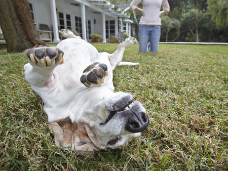 obscuring: Dog rolling over on grass, woman in background