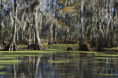 Swamp near New Orleans,Louisiana,USA