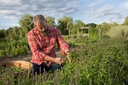 self sufficient: Mature man working on herb farm LANG_EVOIMAGES