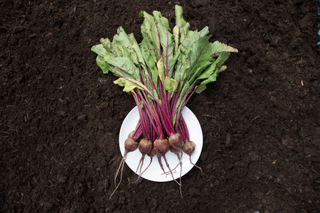 rounded circular: Bunch of beetroot on plate laid on soil
