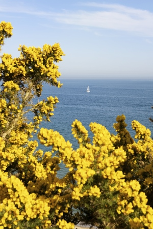getting out: View of sea and yellow gorse bush,Poole,Dorset,UK