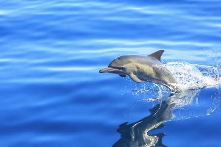 reflective: Single  Long-beaked Common Dolphin (Delphinus capesis) jumping out of ocean, San Diego, California, USA