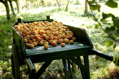 harvested: Full wheelbarrow of harvested apricots in farm orchard