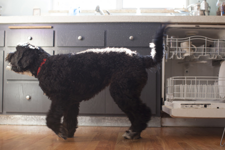 well behaved: Cute pet dog in kitchen LANG_EVOIMAGES