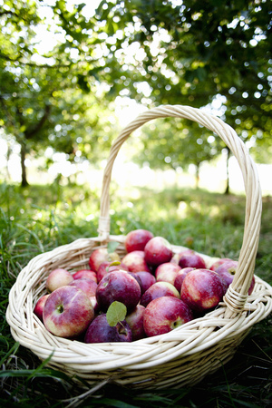 living idyll: Basket full of red apples in farm orchard