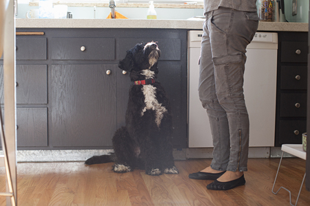 well behaved: Pet dog looking up at owner in kitchen