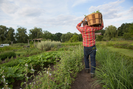 self sufficient: Mature man carrying basket of leaves on herb farm