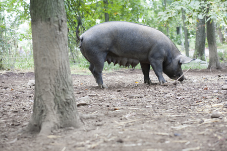 farmyards: Sow pig grazing on farm LANG_EVOIMAGES