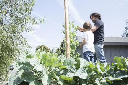 relaciones laborales: Padre, hijo, cosecha, guisantes, jardín LANG_EVOIMAGES