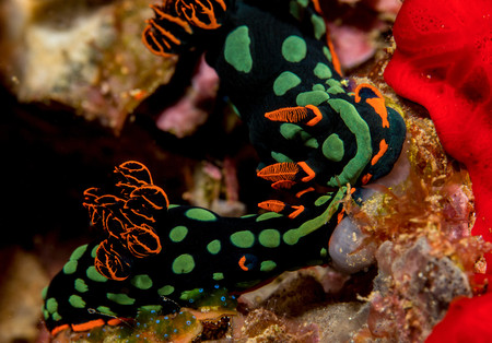 trashy: Pair of nudibranchs LANG_EVOIMAGES