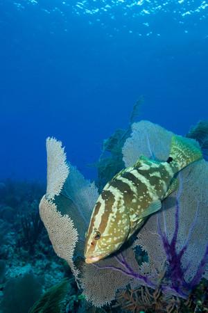 Grouper hiding in sea fan