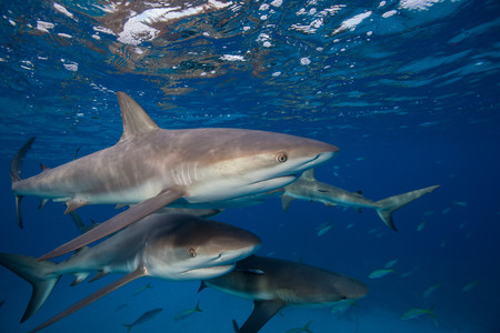 Reef sharks at the surface LANG_EVOIMAGES