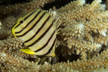 chaetodontidae: Eight-banded butterflyfish LANG_EVOIMAGES