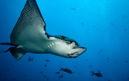 narinari: Spotted eagle ray in flight