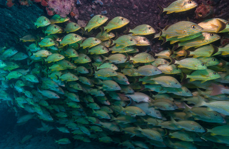 bunched: Schooling fish on Coral reef LANG_EVOIMAGES
