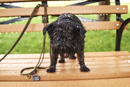 Portrait of a wet dog standing on park bench in rain LANG_EVOIMAGES