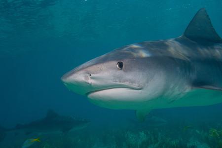 enraged: Tiger shark close-up