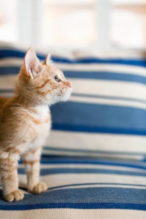 quizzical: Orange tabby kitten sitting on sofa