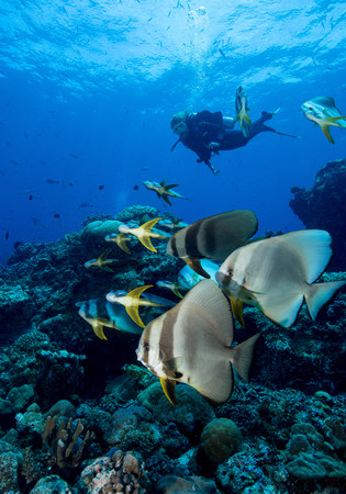 Diver and schooling Spadefish