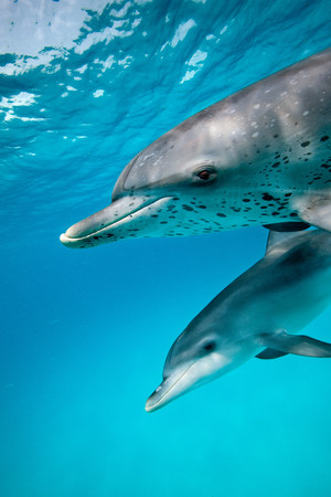 cetacea: Sociable Spotted dolphin LANG_EVOIMAGES