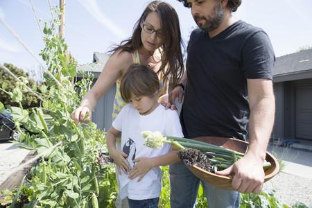 pantalones abajo: Familia con un niño recogiendo guisantes en el jardín