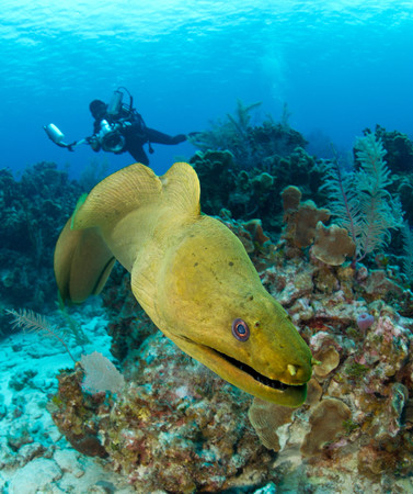 Green moray eel approaches