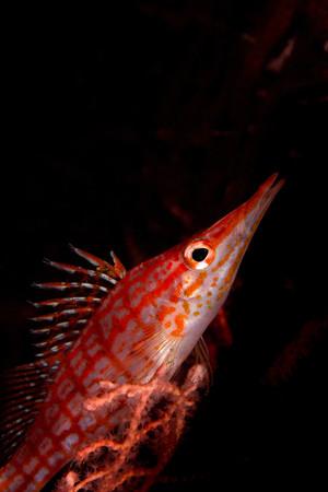 gorgonian sea fan: Longnose hawkfish on gorgonian