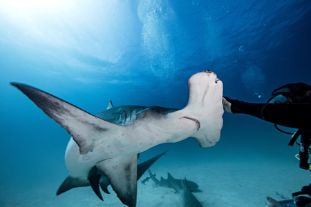 pez martillo: Underwater close up of male diver touching hammerhead shark LANG_EVOIMAGES