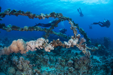 stony coral: Scuba divers by coral covered shipwreck, Red Sea, Marsa Alam, Egypt