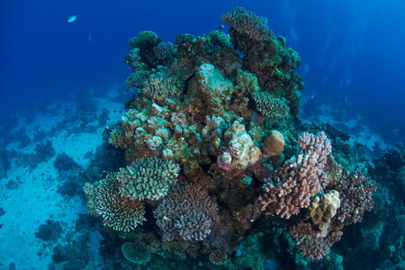 stony coral: Corals, Red Sea, Marsa Alam, Egypt LANG_EVOIMAGES