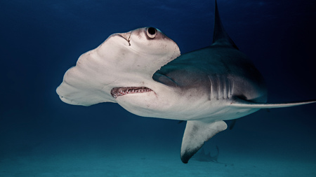 pez martillo: Underwater close up of hammerhead shark