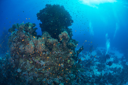 stony coral: School of fish by corals, Red Sea, Marsa Alam, Egypt