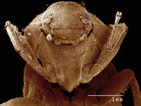 Frontal view of a water beetle (Coleoptera: Driopidae) imaged in a scanning electron microscope