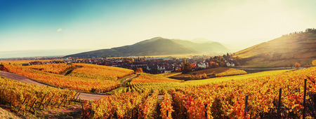Panoramic landscape with autumn coloured vines, Turckheim, Alsace, France