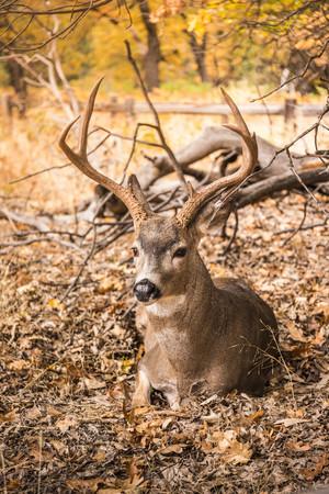 mule deer: Deer buck lying down in autumn leaves,Yosemite National Park,California,USA