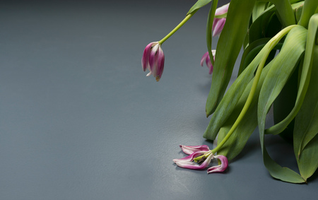 Wilting tulip flowers LANG_EVOIMAGES