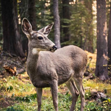 mule deer: Deer looking over its shoulder in forest,Yosemite National Park,California,USA