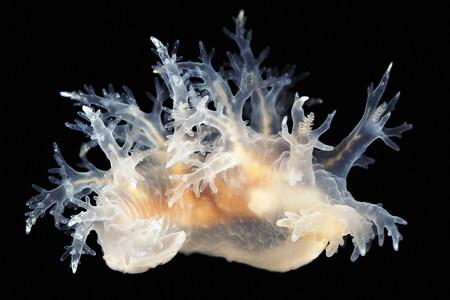 arctic waters: Dendronotus frondosus LANG_EVOIMAGES