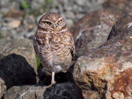 Western burrowing owl,Athene cunicularia hypugaea