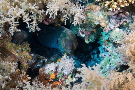 concealment: Giant moray (Gymnothorax javanicus)