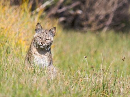 the lynx: Bobcat (Lynx rufus),Marin County,California,USA LANG_EVOIMAGES