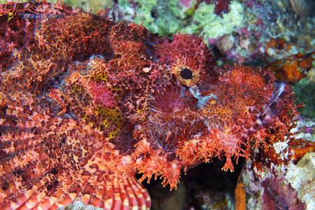 scorpionfish: Bearded scorpionfish (Scorpaenopsis barbata)