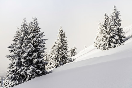 wildkogel austria: Fir trees in winter Reutte,Tyrol,Austria