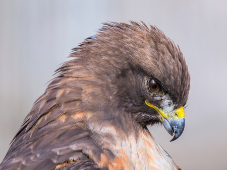 Red-tailed hawk,Buteo jamaicensis LANG_EVOIMAGES
