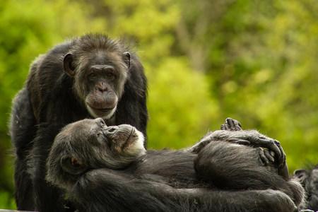 tiredness: Chimpanzees,San Francisco Zoo,California,USA
